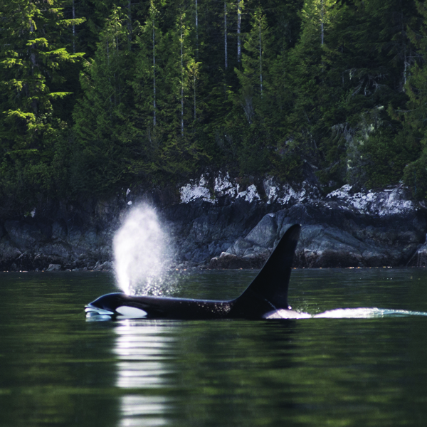 An orca (killer whale) in Johnstone Strait - home of these majestic friends.