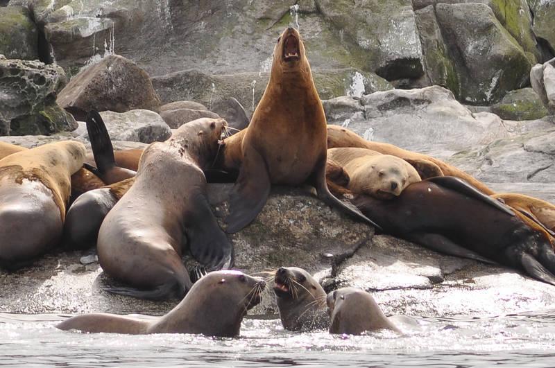 Local Sea Lions sun bathing
