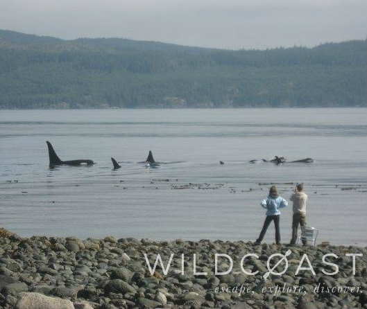 Orcas often swim right past our exclusive, no road-access beach - an experience you'll never forget!